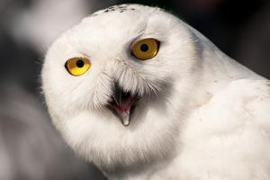 Close Up Portrait of a Snowy Owl, Bubo Scandiacus by Darlyne A. Murawski