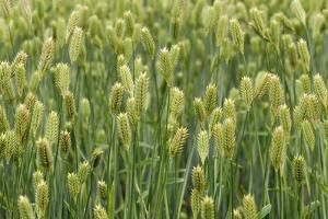 Close View of a Wheat Field with Maturing Grain by Darlyne A. Murawski