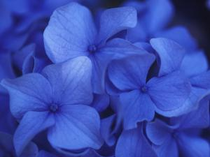 Close View of Blue Hydrangea Flowers, Cape Cod, Massachusetts by Darlyne A. Murawski
