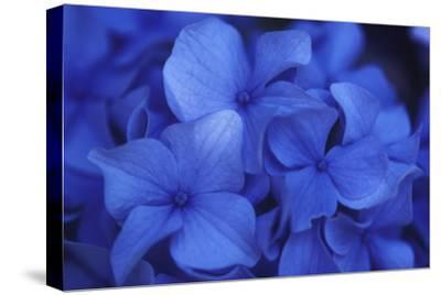 Close View of Blue Hydrangea Flowers, Cape Cod, Massachusetts by Darlyne A. Murawski