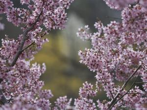Close View of the Branch of a Flowering Cherry Tree by Darlyne A. Murawski