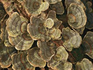 Close View of Turkey-Tail Fungi in Estabrook Woods, Concord, Massachusetts by Darlyne A. Murawski