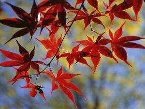 Close Views of Japanese Maple Leaves by Darlyne A. Murawski