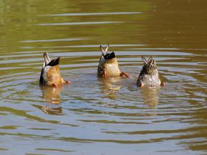 Dabbling Mallard Ducks, Anas Platyrhynchos, Bottoms Up, Arlington, Massachusetts, USA by Darlyne A. Murawski