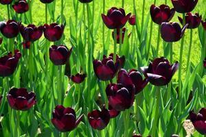 Deep Purple Tulips in a Flower Bed in the Public Garden by Darlyne A. Murawski
