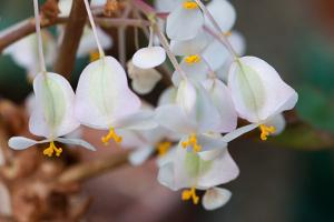 Delicate Pink and Green Begonia Flowers with Yellow Stamens by Darlyne A. Murawski