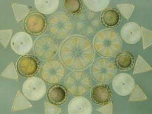 Diatoms by Darlyne A. Murawski
