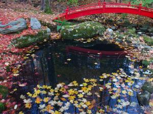 Fallen Leaves from Japanese Maples Floating in a Pond, New York by Darlyne A. Murawski