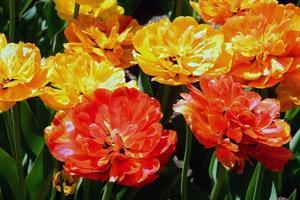 Fancy Red, Yellow and Orange Tulips in the Public Garden by Darlyne A. Murawski