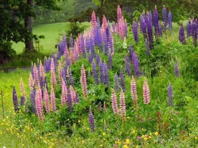 Field of Lupines in Maine