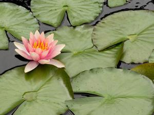 Floating Water Lily Flower and Lily Pads, Nymphaea Species by Darlyne A. Murawski