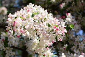 Flower-Covered Branches of a Tea Crabapple Tree, Malus Hupenhensis by Darlyne A. Murawski
