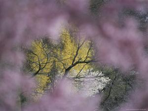 Flowering Forsythia Seen Through a Frame of Cherry Blossoms by Darlyne A. Murawski