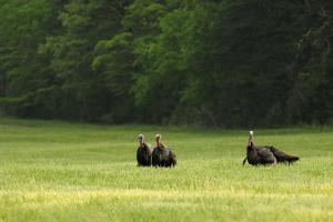 Four Male Wild Turkeys in a Grassy Field by Darlyne A. Murawski