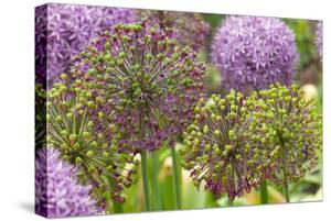 Group of Allium Inflorescences with Flowers and Buds by Darlyne A. Murawski