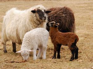 Group of Navajo-Churro Sheep on the Historic Taylor Bray Farm by Darlyne A. Murawski
