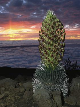 Hawaiian Sunset with Flowering Silversword in the Foreground by Darlyne A. Murawski