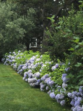 Hydrangeas in Bloom Along a Landscaped Yard by Darlyne A. Murawski