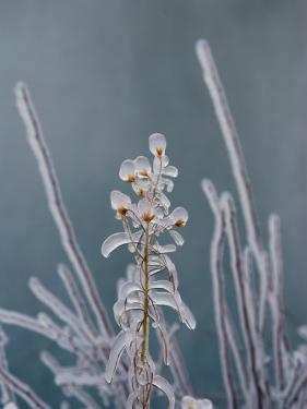 Ice-Coated Plants, Mist from Shoshone Falls Creates an Icy Layer, Shoshone Falls, Twin Falls, Idaho by Darlyne A. Murawski