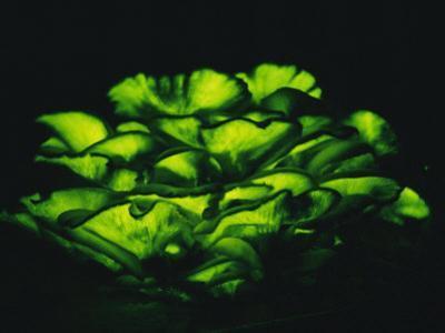 Jack-O-Lantern Mushrooms Glowing Green at Night