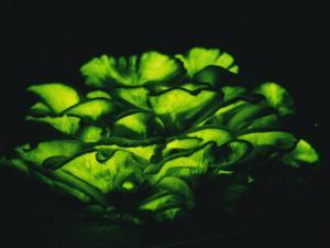 Jack-O-Lantern Mushrooms Glowing Green at Night by Darlyne A. Murawski