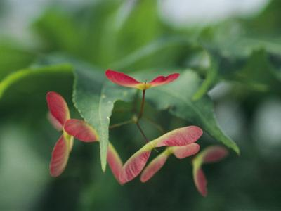 Japanese Maple Leaves and Fruit
