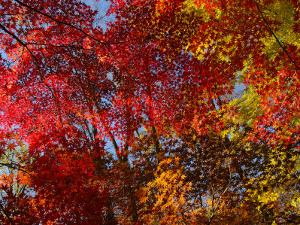 Japanese Maple Leaves in Fall Colors by Darlyne A. Murawski
