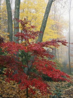 Japanese Maple Leaves in the Fall by Darlyne A. Murawski