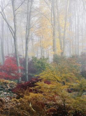 Japanese Maple Trees in the Fog by Darlyne A. Murawski