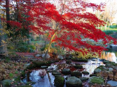 Old Japanese Maple Tree In Fall Art Print Home Decor Wall Art Poster C