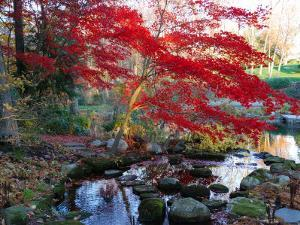 Japanese Maple with Colorful, Red Foliage at a Stream's Edge, New York by Darlyne A. Murawski