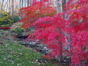 Japanese Maples with Colorful Fall Foliage in a Garden, New York by Darlyne A. Murawski