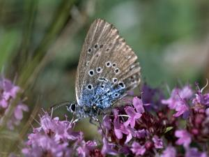 Large Blue, Maculinea Arion, Butterfly Sitting on Pink Flowers, Silvakra, Sweden by Darlyne A. Murawski
