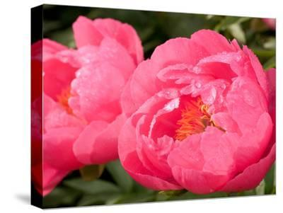 Large Bright Pink Peony Flowers, Paeonia Species, with Rain Drops by Darlyne A. Murawski