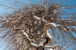Looking Up into the Branches of a Weeping White Mulberry Tree Covered in Snow by Darlyne A. Murawski