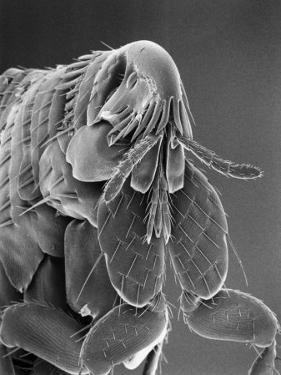 Microscopic View of a Cat Flea Magnified About 80 Times, USA by Darlyne A. Murawski
