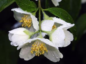 Mock-Orange Shrub Flowers, Philadelphus Species, with Rain Drops by Darlyne A. Murawski