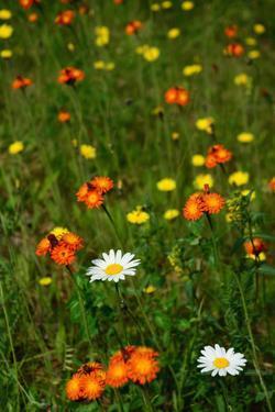 Orange Hawkweed Flowers, Daisies, and Dandelions in a Meadow by Darlyne A. Murawski