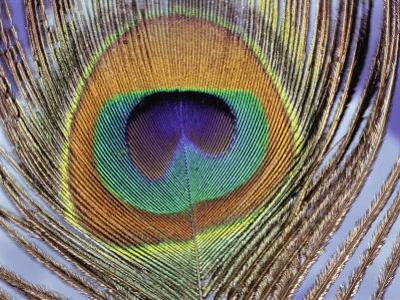 Peacock Tail Feather, Simbhaoli, India by Darlyne A. Murawski