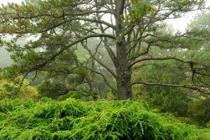 Pine Trees and Weeping Hemlock in a Foggy Landscape by Darlyne A. Murawski