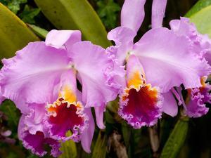 Pink Orchid Flowers, Cattleya Percivaliana by Darlyne A. Murawski