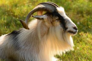 Portrait of a domestic kiko goat. by Darlyne A. Murawski