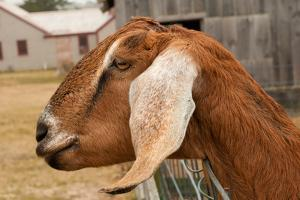 Portrait of a Nubian Goat Looking Out of its Pen by Darlyne A. Murawski