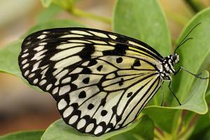Portrait of a Rice Paper Butterfly, Idea Leuconoe by Darlyne A. Murawski