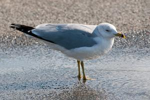 Portrait of a Ring-Billed Gull at Rest in Shallow Water by Darlyne A. Murawski