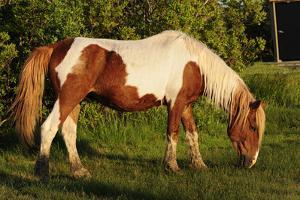 Portrait of a Wild Chincoteague Pony, Grazing by Darlyne A. Murawski