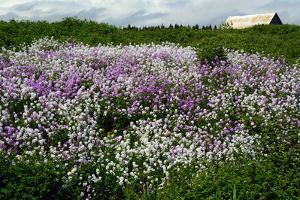 Purple and White Flowers Along a Roadside on the Gaspe Peninsula by Darlyne A. Murawski