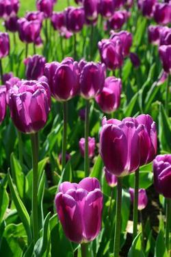 Purple Tulips in the Public Garden in Spring by Darlyne A. Murawski
