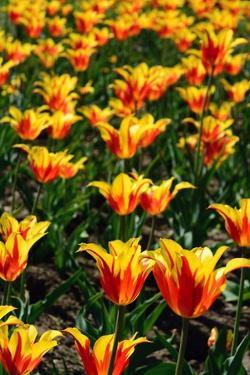Red and Yellow Tulips in the Public Garden by Darlyne A. Murawski