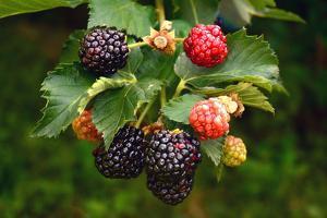 Ripe and unripe fruit of a blackberry plant. by Darlyne A. Murawski